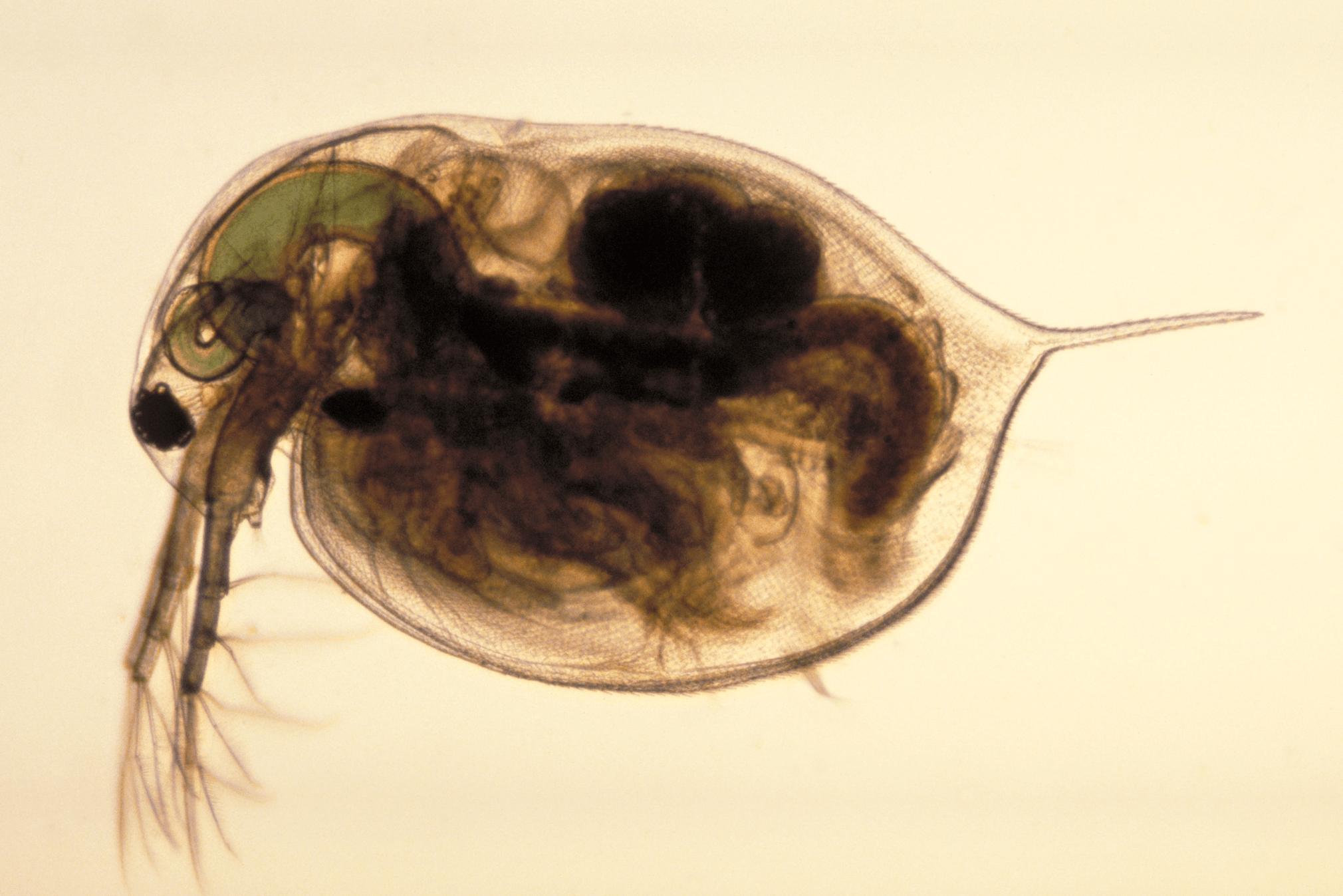 Perloočky fungují jako významný biosensor kvality vody